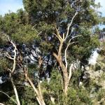 indig tree