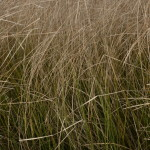non native grass